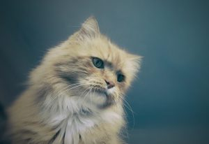 The condition is defined by a cat's inability to control its bladder. The condition is involuntary or uncontrollable, with no conscious effort from your pet. Therefore, reprimanding them or attempting to punish them is futile since the condition is medical rather than behavioral.